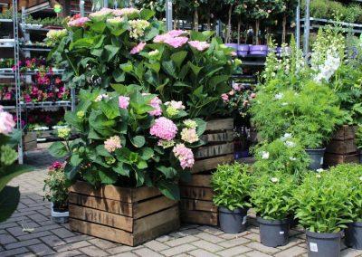 hortensien-pflanzen-garten