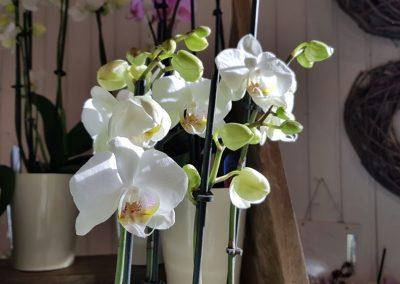 zimmerpflanze_orchidee
